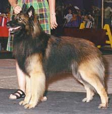 Sharplaninskaya Çoban Köpeği. Cins tanımı 51